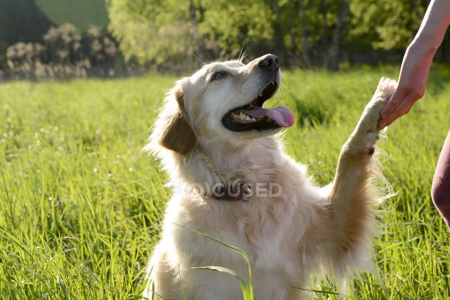 Portrait de Golden Retriever qui donne la patte — Photo de stock