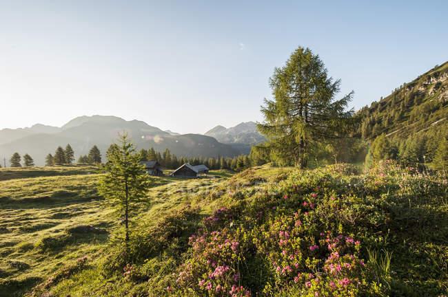 Австрия, Зальцбург государства, Унтертауэрн, Понгау, пастбища и альпийских роз (Рододендрон Барбадосский) — стоковое фото
