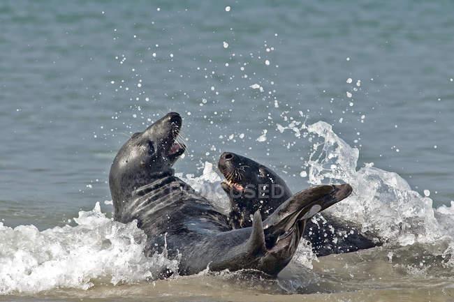 Germania, Helgoland, due foche grigie nell'oceano — Foto stock