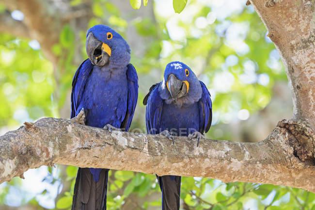 Бразилия, Мату-Гросу, Мату-Гросу-ду-Сул, Пантанал, два гиацинтовых попугая (Anodorhynchus hyacinthinus), сидящих на ветке — стоковое фото