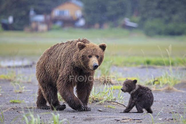 Жіночий бурий ведмідь з ведмежам в озеро Кларк Національний парк і заповідник, Аляска, США — стокове фото