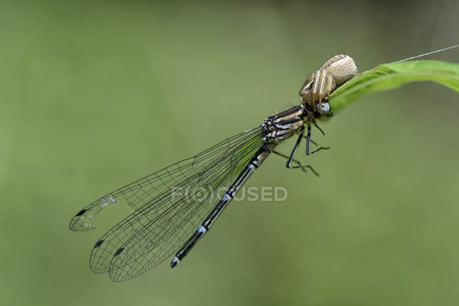 Crab spider attacking dragonfly on leaf — Stock Photo
