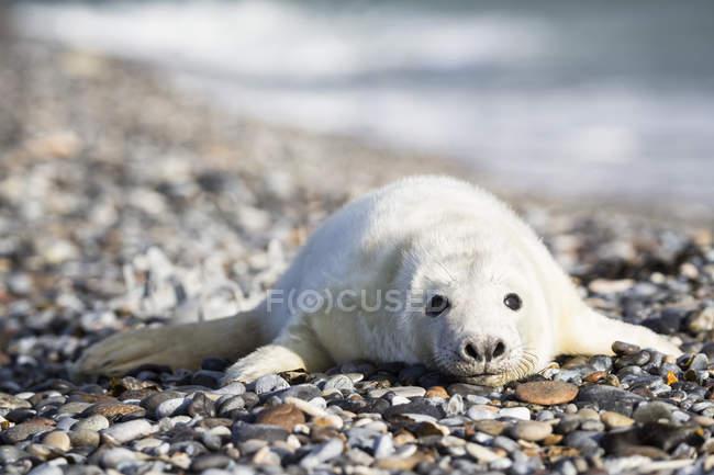 Lindo cachorro de foca gris acostado en la playa de guijarros durante el día, Duene Island, Helgoland, Alemania - foto de stock