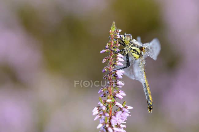Чорний darter Sympetrum Даная, бабка, сидячи на квітучий диких квітів — стокове фото