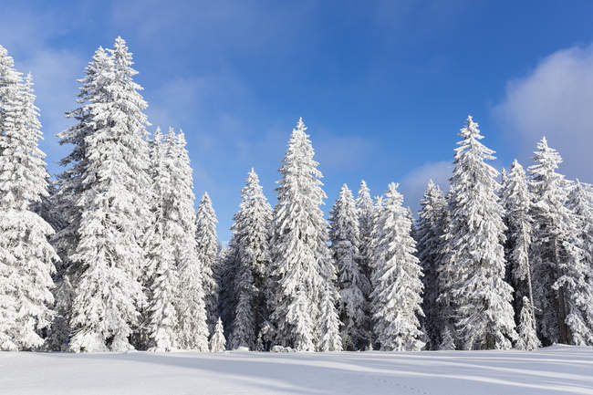 Allemagne, Bavière, enneigée, arbres à forêt bavaroise — Photo de stock