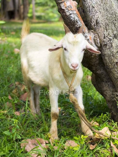 Карибського басейну, Сент-Люсія, вітчизняні козла, Капра aegagrus hircus — стокове фото