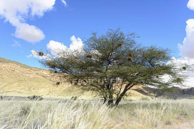 Африка, Намибия, Namib-Naukluft район, дерево с гнезда птиц Уивер — стоковое фото