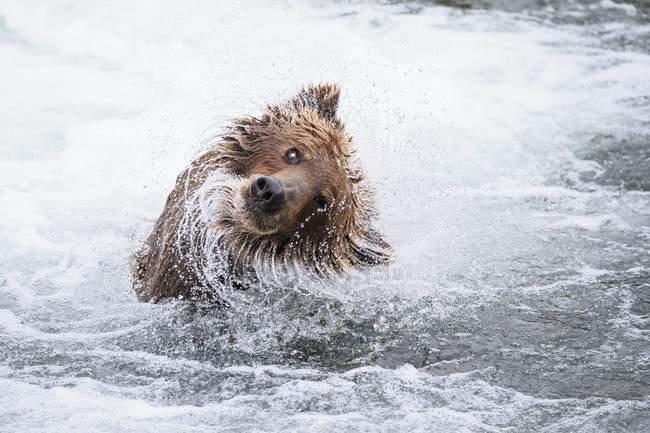 Brown bear shaking body at Brooks Falls, Katmai National Park, Alaska, USA — Stock Photo