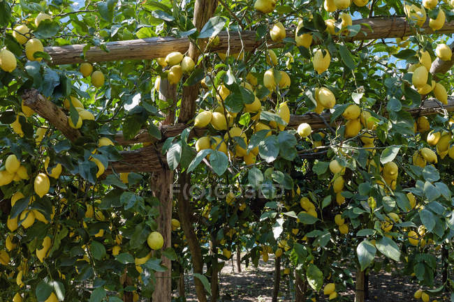 Lemon Plantation With Ripe Lemons On Branches Citrus Fruits Grown Your Own Stock Photo 181912942
