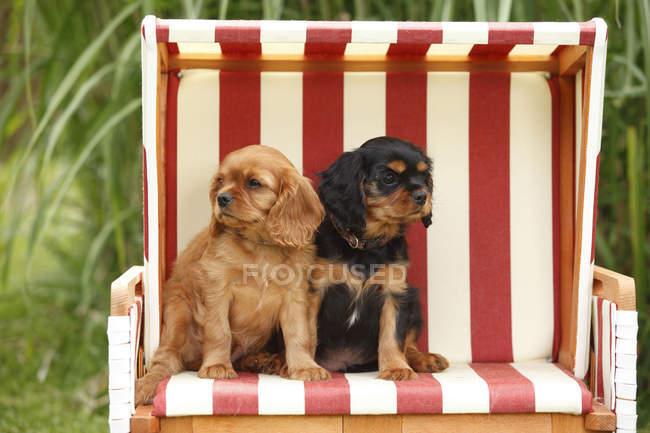 Два кавалера короля Чарльза испаноязычных щенка, сидящих в пляжном шезлонге с капюшоном в саду — стоковое фото