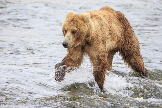 Side view of brown bear foraging at Brooks Falls at daytime, Katmai National Park, Alaska, USA — Stock Photo