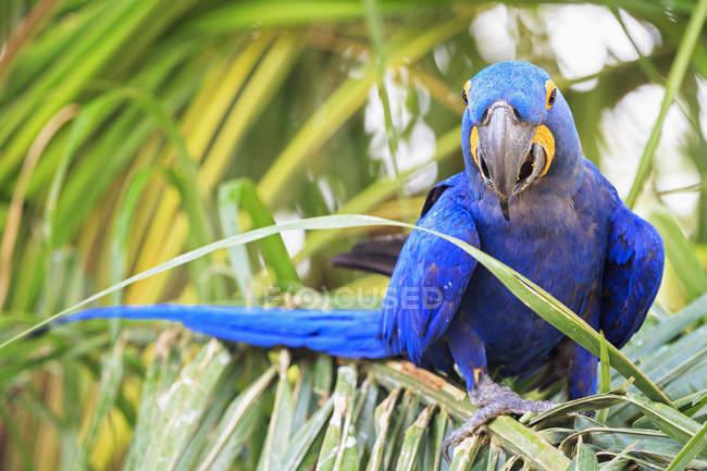 Brasil, Mato Grosso, Mato Grosso do Sul, Pantanal, guacamayo jacinto (Anodorhynchus hyacinthinus) loro sentado en la palma - foto de stock