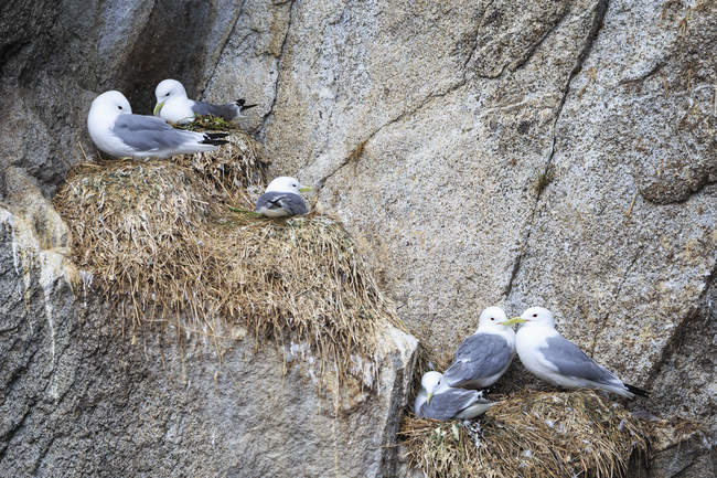 USA, Alaska, Seward, Resurrection Bay, view to six black-legged Kittiwake (Rissa tridactyla) breeding on a rock — Stock Photo