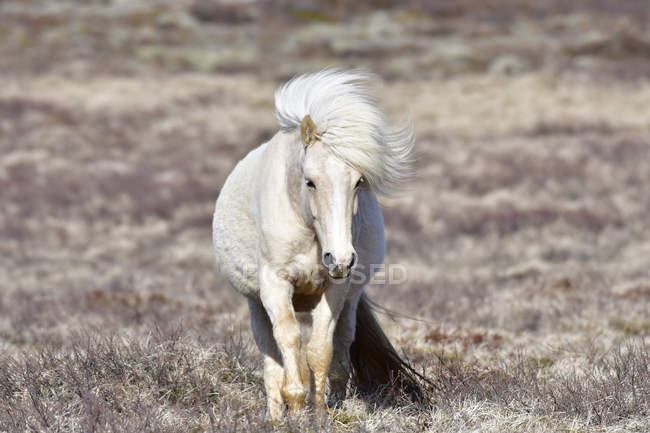 Iceland white icelandic horse front view in sunshine stock photo iceland white icelandic horse front view in sunshine stock photo sciox Choice Image