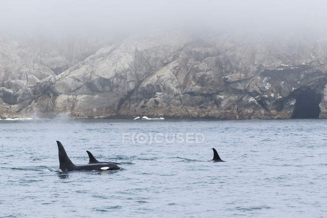 USA, Alaska, Seward, Resurrection Bay,  dorsal fins of three killer whales (Orcinus orca) — Stock Photo