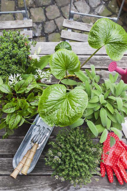 Gartenarbeit, verschiedene Heil- und Küche Kräuter und Gartengeräten auf Gartentisch — Stockfoto