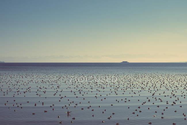 Alemania, Baden-Wuerttemberg, Constanza, Lago de Constanza con muchas aves acuáticas - foto de stock