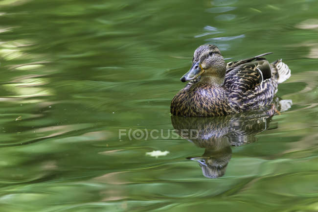 Female mallard duck swimming in green pond water — Stock Photo