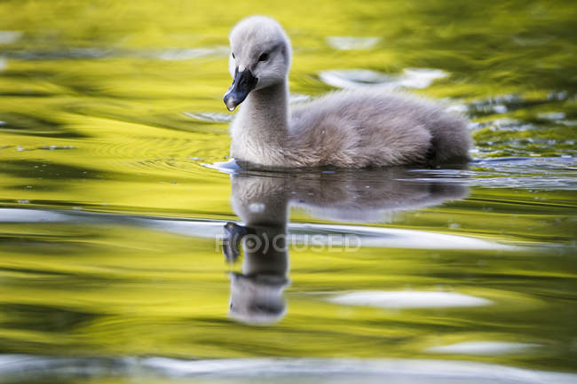 Swan chick swimming in water closeup view — Stock Photo