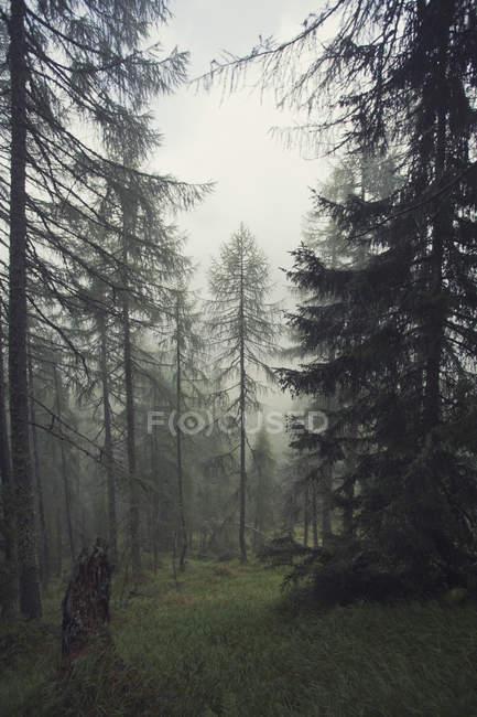 Austria, Tyrol, Kals am Grossglockner, forest at mist during daytime — Stock Photo