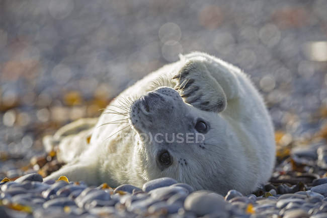 Cute grey seal pup lying on shingle beach at daytime, Duene Island, Helgoland, Germany — Stock Photo