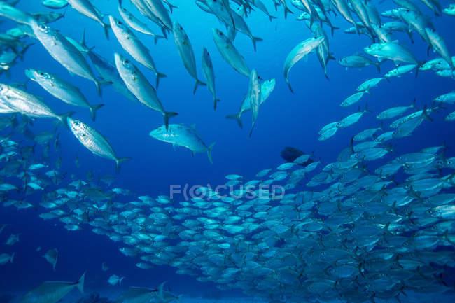 Fischschwärme tagsüber im Meerwasser — Stockfoto