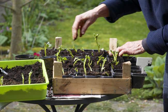 Cropped image of Woman re-potting broad bean seedlings — Stock Photo