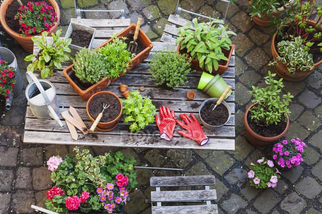 Садівництво, різні трави лікарські та кухнею і садові інструменти на садовий стіл — стокове фото