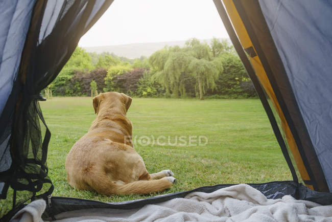 Labrador Retriever lying in front of tent — Stock Photo