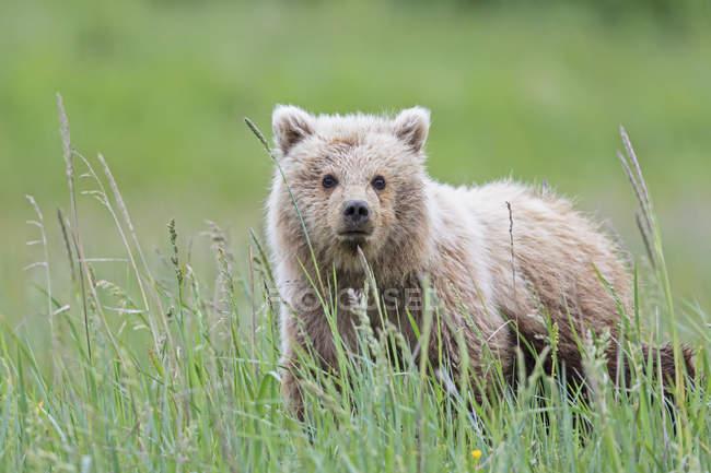 Filhote de urso pardo (Ursus arctos) no prado verde, olhando para a câmera — Fotografia de Stock