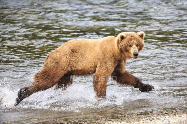 Brown bear (Ursus arctos) walking at riverside — Stock Photo