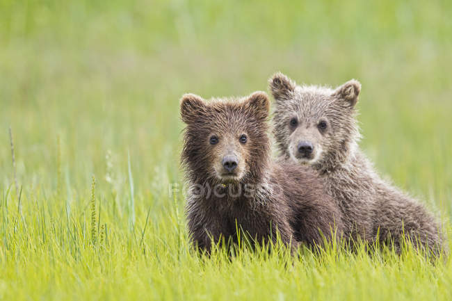 Brown bear cubs standing on green meadow at daytime, Lake Clark National Park and Preserve, Alaska, USA — Stock Photo