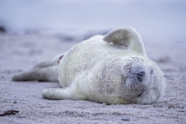 Portrait of grey seal pup lying on beach at daytime, Duene Island, Helgoland, Schleswig-Holstein, Germany — Stock Photo