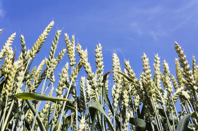 Wheat ears in field against blue sky — Stock Photo