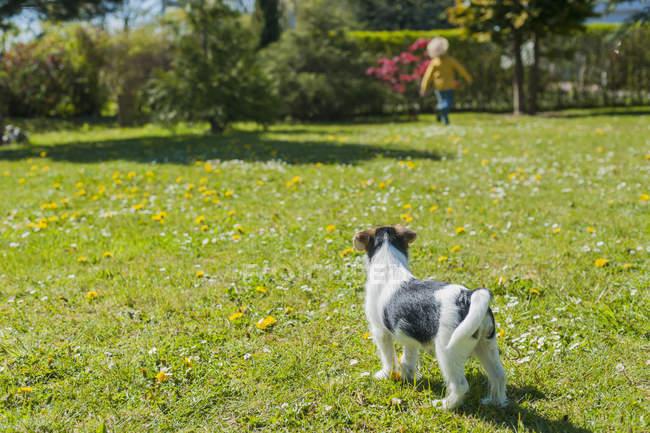 Jack Russel Terrier cucciolo in giardino con ragazzo sullo sfondo — Foto stock
