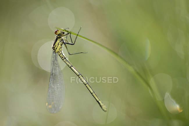 Красные глаза Равнокрылые стрекозы, Erythromma Наяда, стрекоза, висит на травинку — стоковое фото