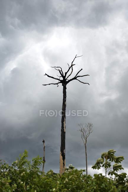 Бразилия, пункт, Amazon rainforest, подсечно, мертвые Бразилии орехового дерева — стоковое фото