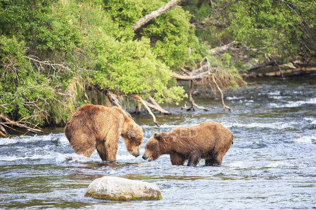 USA, Alaska, Katmai National Park, Brown bears (Ursus arctos) at Brooks Falls, fighting during foraging — Stock Photo