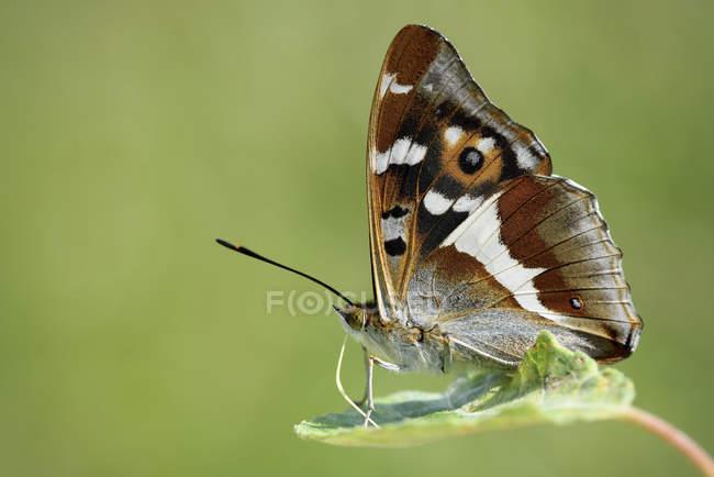 Фіолетовою імператор Apatura iris, Метелик, сидячи на листя перед зелений фон — стокове фото