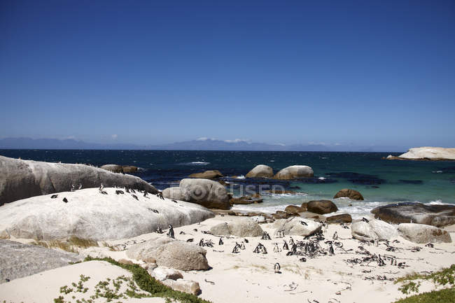 Südafrika, Simonstown, Black-footed Pinguine zu Fuß am Ufer — Stockfoto