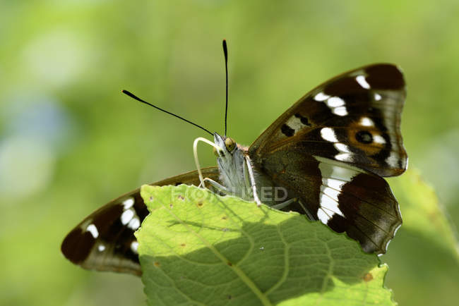 Violet empereur, Apatura iris, vue du papillon assis sur feuille — Photo de stock