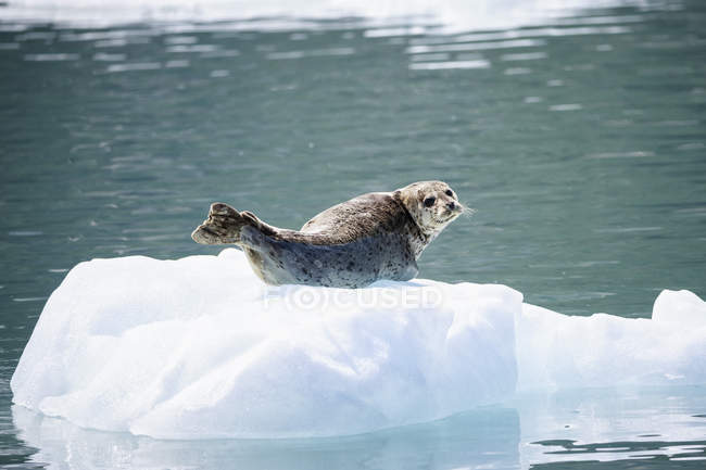 Usa, alaska, seward, resurrection bay, harbour seal (phoca vitulina) liegt auf einer Eisscholle — Stockfoto