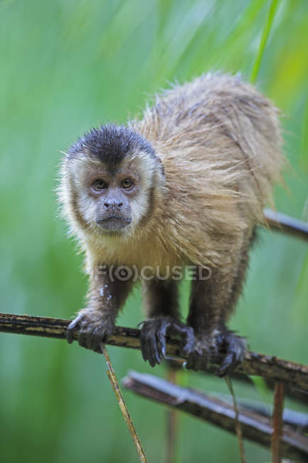Closeup of Capuchin monkey sitting on branch of green tree at daytime — Stock Photo
