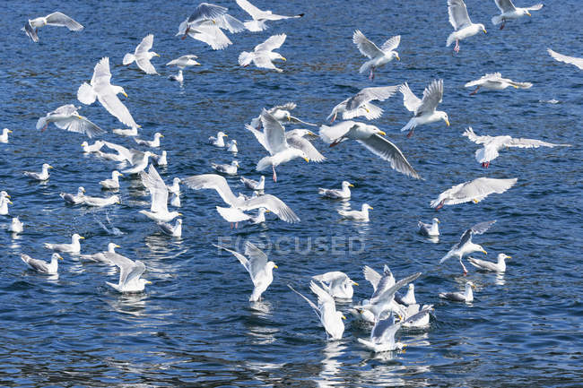 USA, Alaska, Seward, Resurrection Bay, flock of Glaucous-winged Gull (Larus glaucescens) — Stock Photo