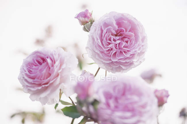 Germany, Saxony, Roses, Rosa on white background — Stock Photo