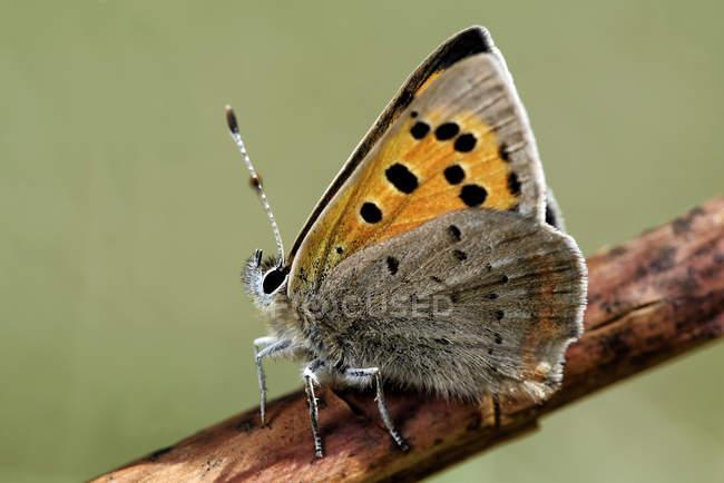 Piccola farfalla di rame, Lycaena phlaea, seduta sul ramoscello della pianta — Foto stock
