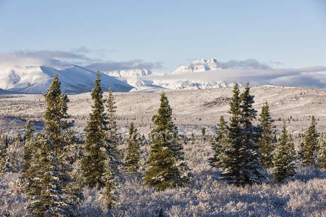 Ели в национальном парке Денали, Аляска, США — стоковое фото