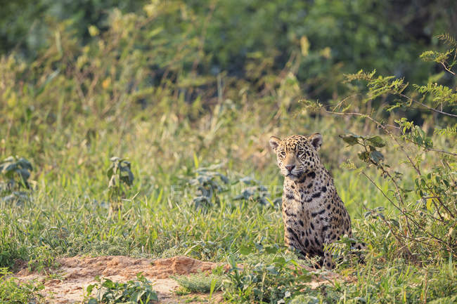 América do Sul, Brasília, Mato Grosso do Sul, Pantanal, alertou Jaguar sentado na natureza — Fotografia de Stock