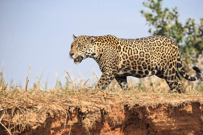 South America, Brasilia, Mato Grosso do Sul, Pantanal, Jaguar, Panthera onca - foto de stock