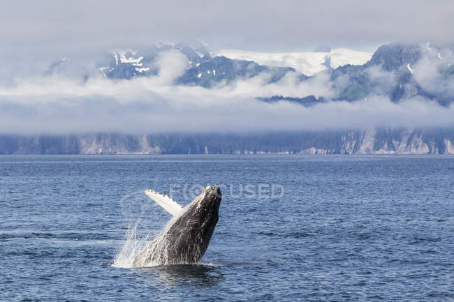 USA, Alaska, Seward, Resurrection Bay,  jumping humpback whale (Megaptera novaeangliae) — Stock Photo